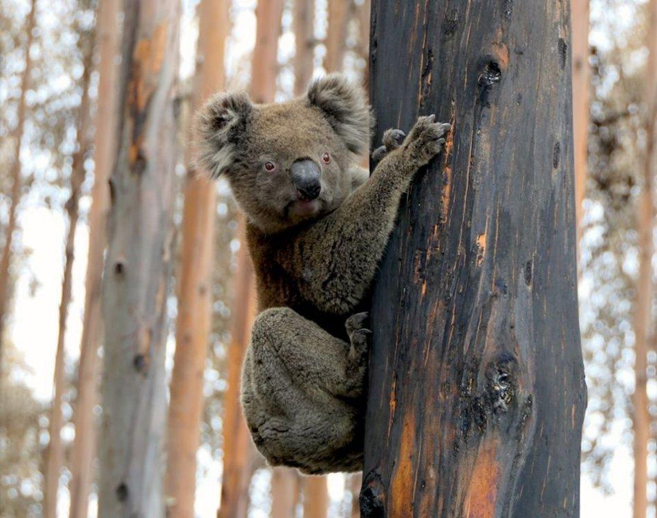 KoalaTree4.jpg
